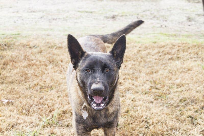 Cane di conversazione, cane con il fronte sporco che indossa un collare fotografie stock libere da diritti