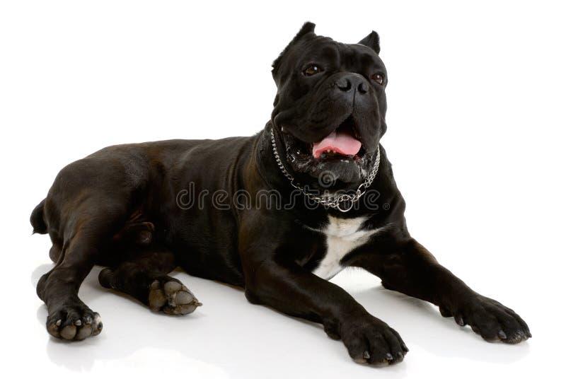 Cane di Corso della canna immagini stock libere da diritti