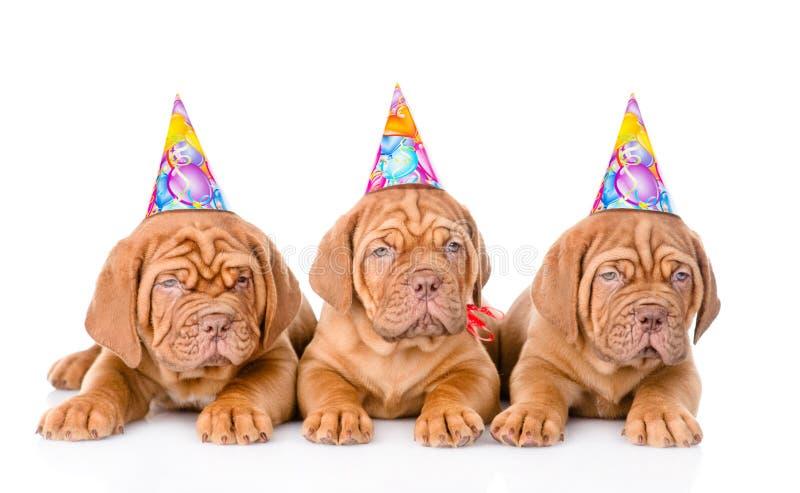 Cane di cuccioli del Bordeaux del gruppo con i cappelli di compleanno Isolato su bianco fotografia stock libera da diritti