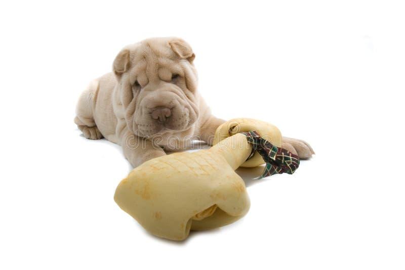 Cane di cucciolo di Shar-Pei con un osso fotografia stock