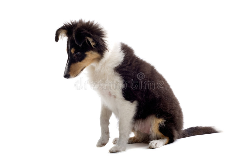 Cane di cucciolo scozzese del collie fotografie stock libere da diritti