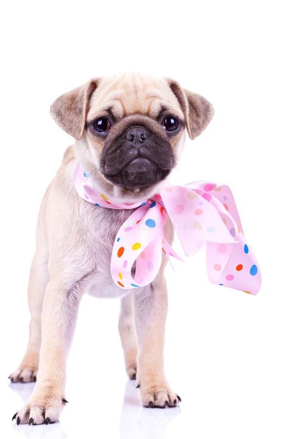 Cane di cucciolo sveglio dei mops che porta un nastro dentellare fotografie stock