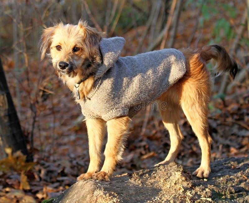 Cane di Dreesed fotografia stock