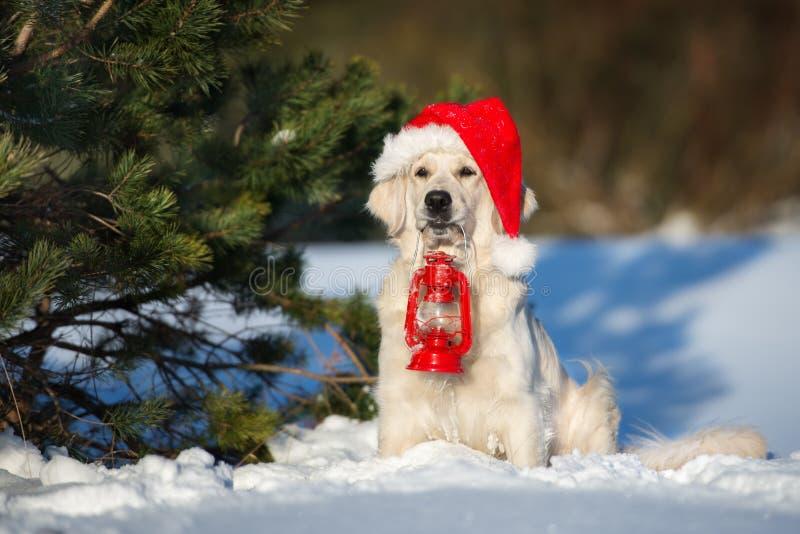 Cane di golden retriever che posa all'aperto nell'inverno immagine stock