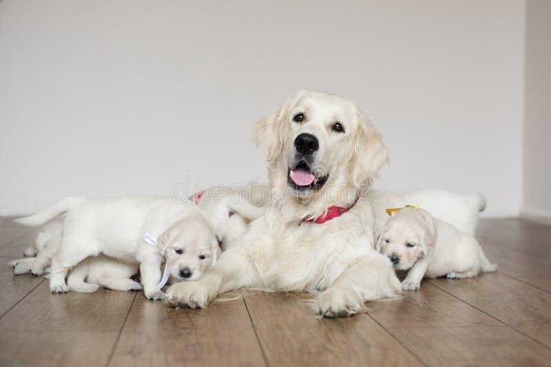 Cane di golden retriever con i cuccioli immagini stock
