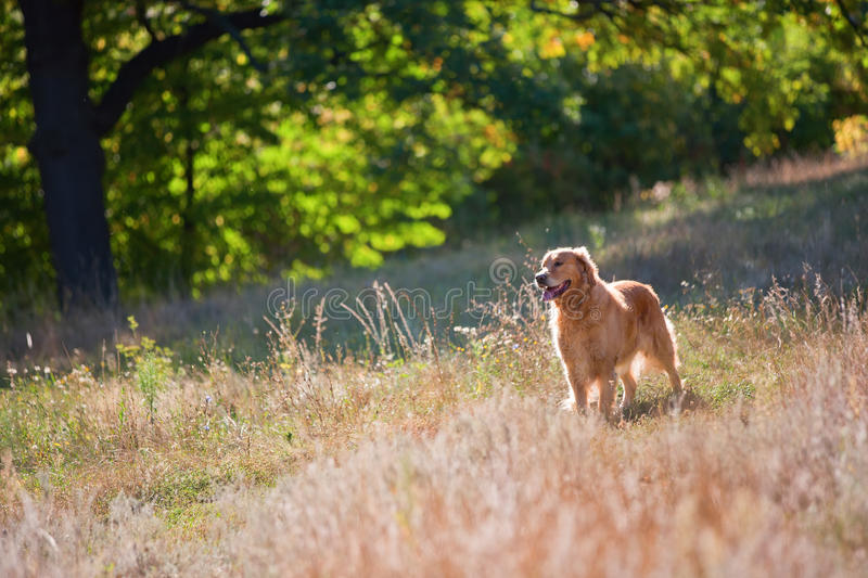 Cane di golden retriever su un prato inglese di estate nella foresta fotografia stock