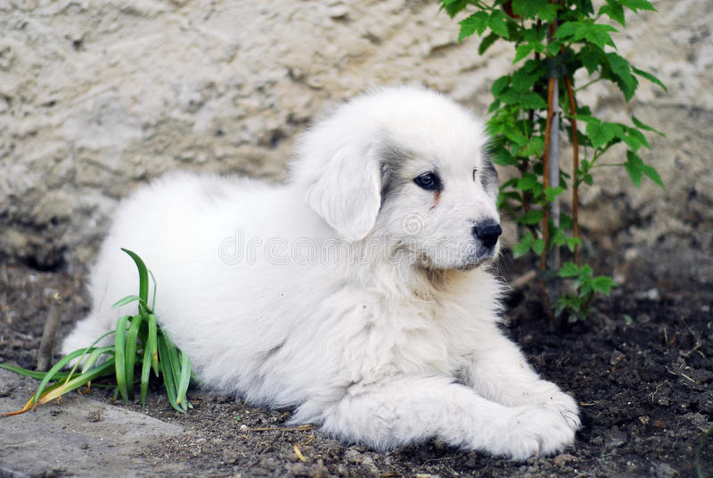 Cane di grandi Pirenei del cucciolo fotografia stock libera da diritti