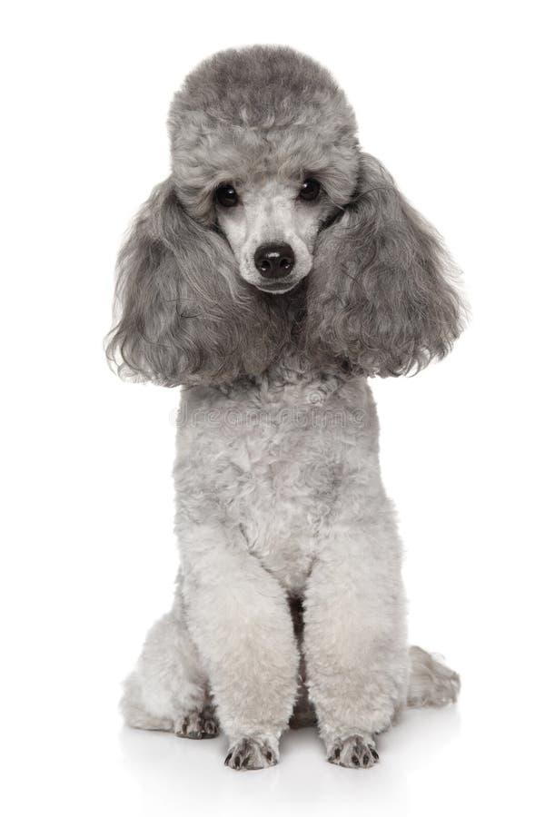 Cane di Gray Toy Poodle su un bianco fotografia stock libera da diritti