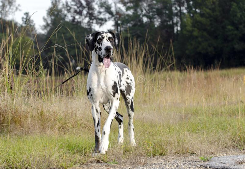 Cane di great dane dell'arlecchino fotografia stock