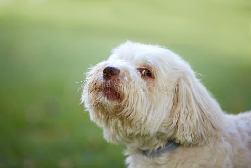Cane di Havanese che guarda prima dello scortecciamento fotografia stock