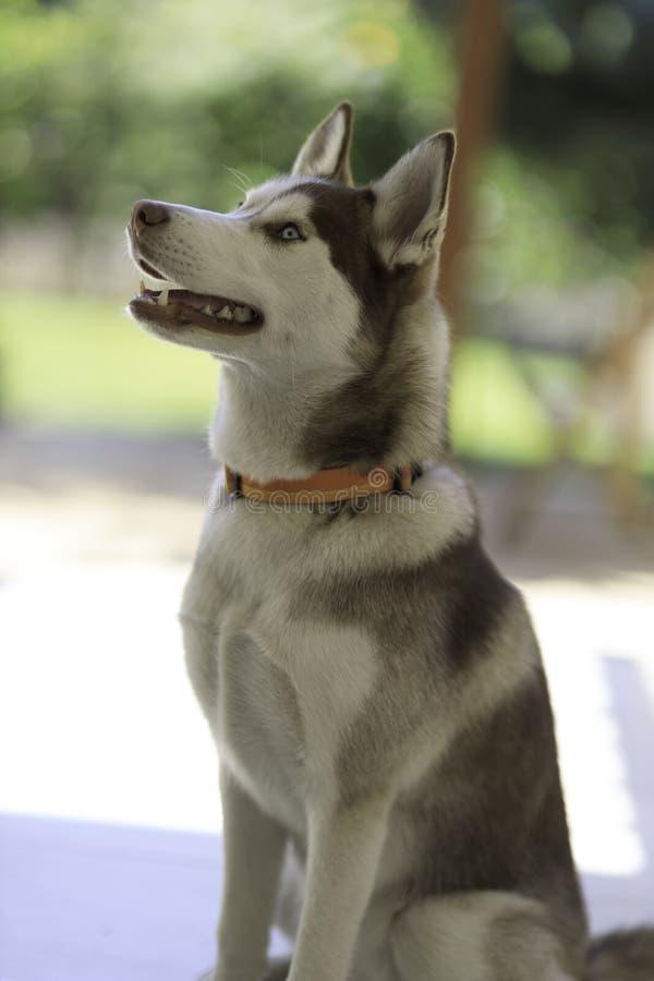 cane di husky siberiano fotografie stock libere da diritti