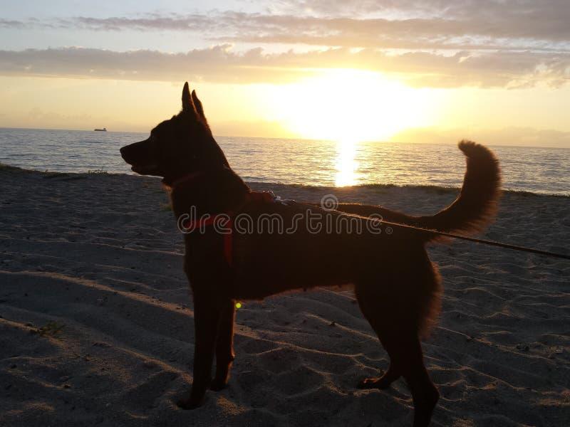 Cane di Kelpie fotografia stock