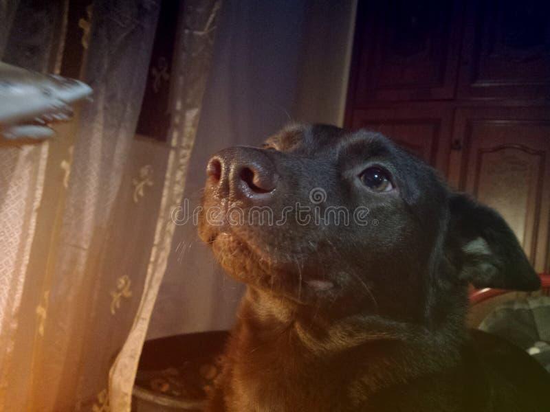 Cane di Kelpie immagini stock