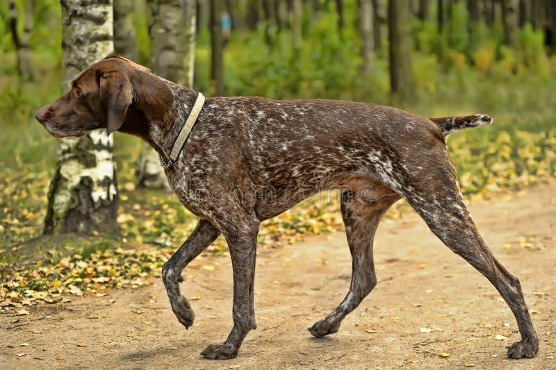 Cane di Kurzhaar immagini stock