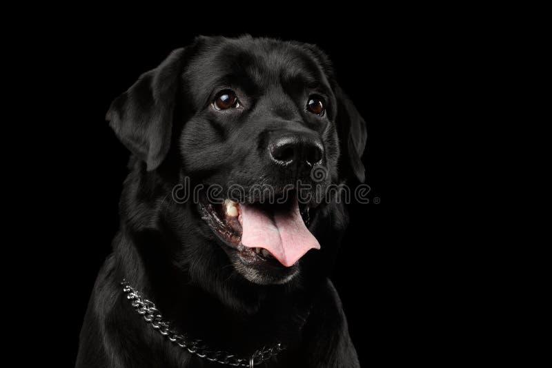 Cane di Labrador del nero del ritratto del primo piano, sguardo gentile, vista frontale, isolata immagine stock libera da diritti