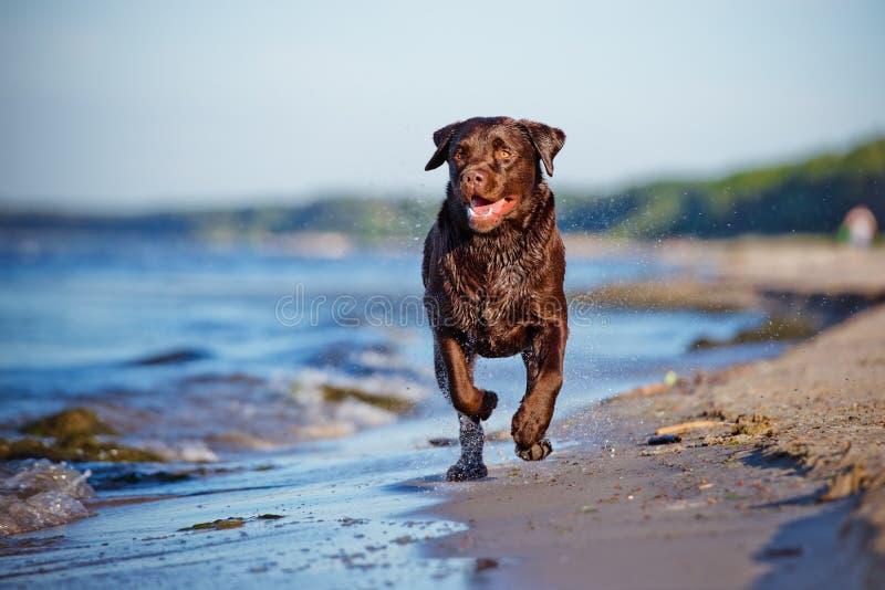 Cane di labrador retriever al mare immagine stock libera da diritti