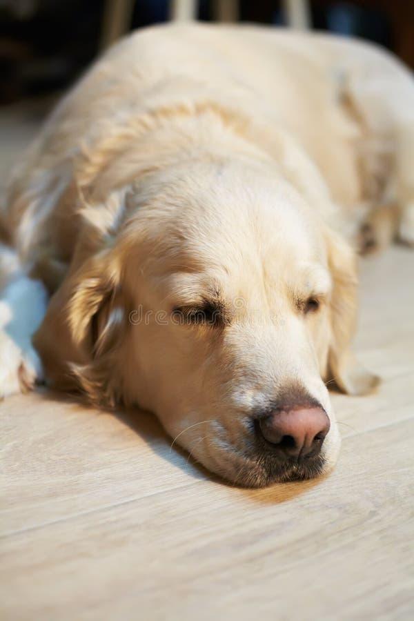 Cane di labrador retriever che si trova su un pavimento a casa immagine stock libera da diritti