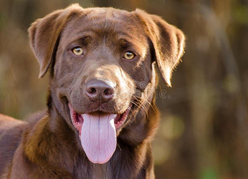 Cane di labrador retriever del cioccolato immagine stock