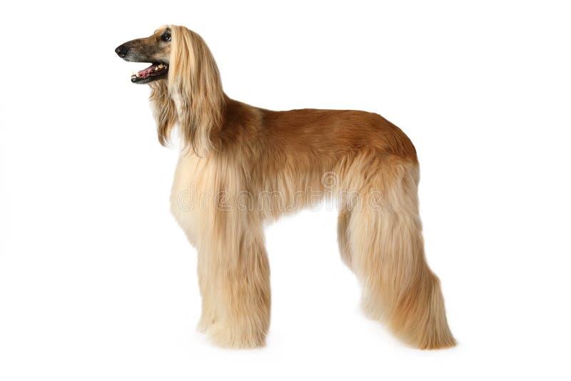 Cane di levriero afgano di razza immagine stock