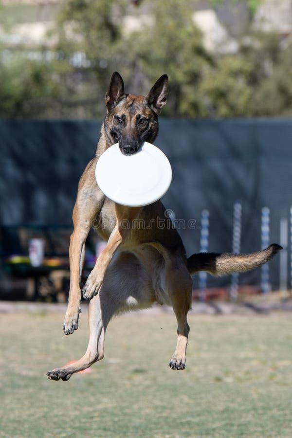 Cane di Malinois con il disco nella sua bocca immagini stock