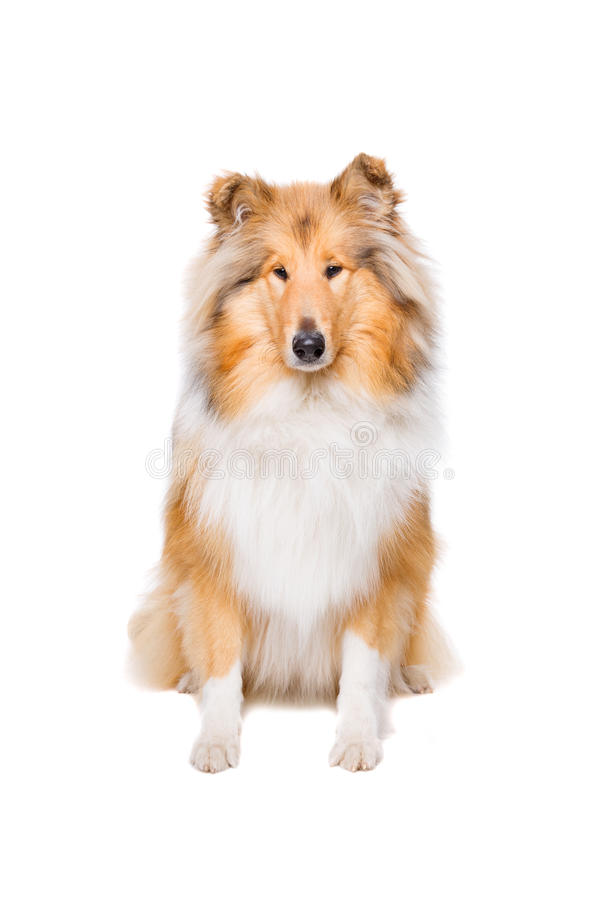 Cane di massima del Collie fotografie stock libere da diritti