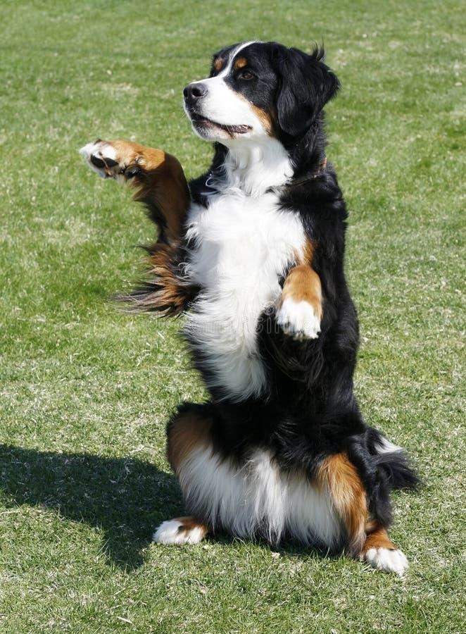 Cane di montagna di Bernese fotografie stock