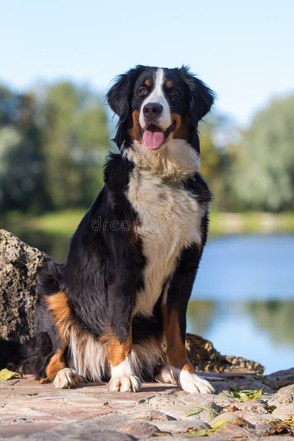Cane di montagna di Bernese fotografie stock libere da diritti