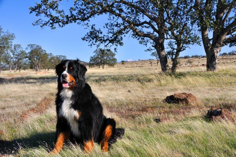 Cane di montagna di Bernese in California Chapparal immagini stock libere da diritti