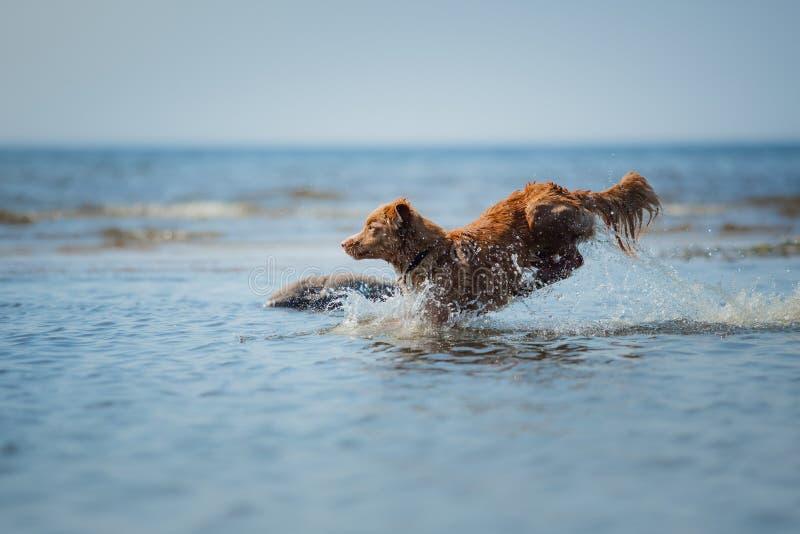 Cane di Nova Scotia Duck Tolling Retriever nell'acqua L'animale domestico salta nel mare immagini stock