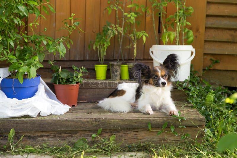 Cane di Papillon su un portico della casa di legno immagini stock