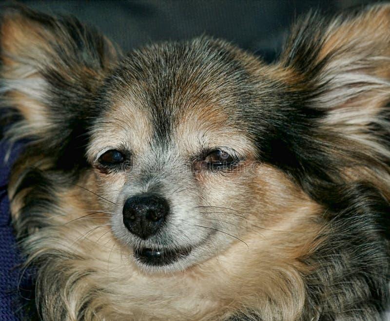 Cane di Pappilon fotografia stock libera da diritti