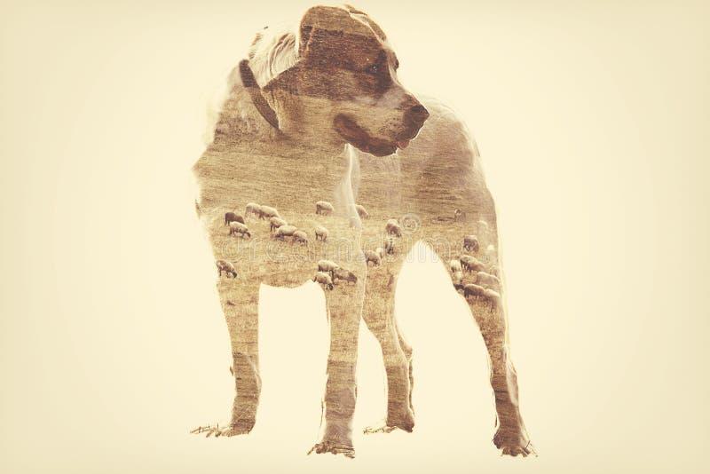 Cane di pastore asiatico fotografia stock libera da diritti
