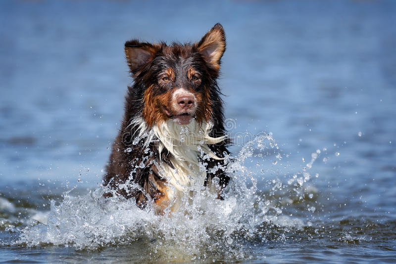 Cane di pastore australiano immagini stock libere da diritti