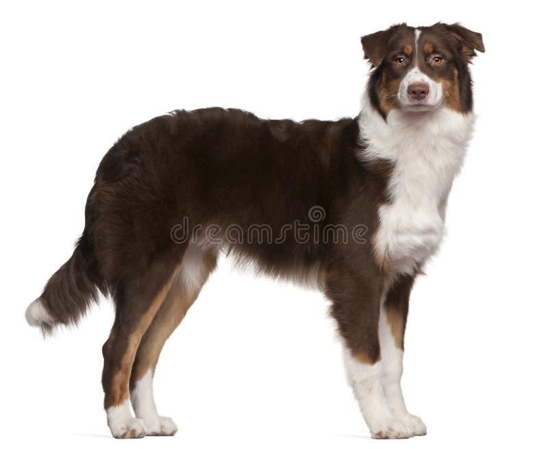 Cane di pastore australiano, 7 mesi, levantesi in piedi immagine stock