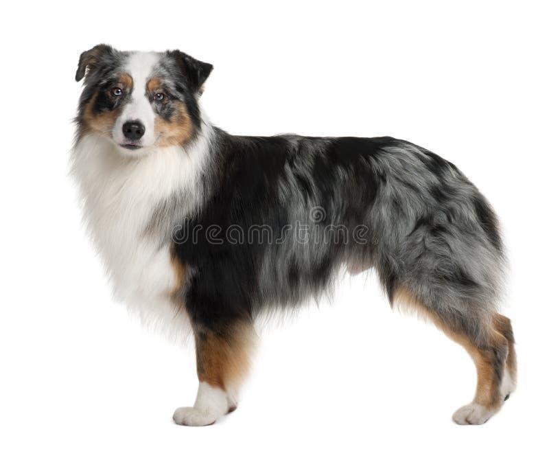 Cane di pastore australiano, levantesi in piedi fotografia stock