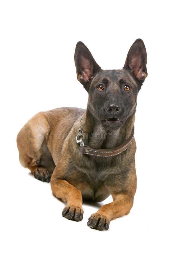 Cane di pastore belga, malinois fotografia stock libera da diritti