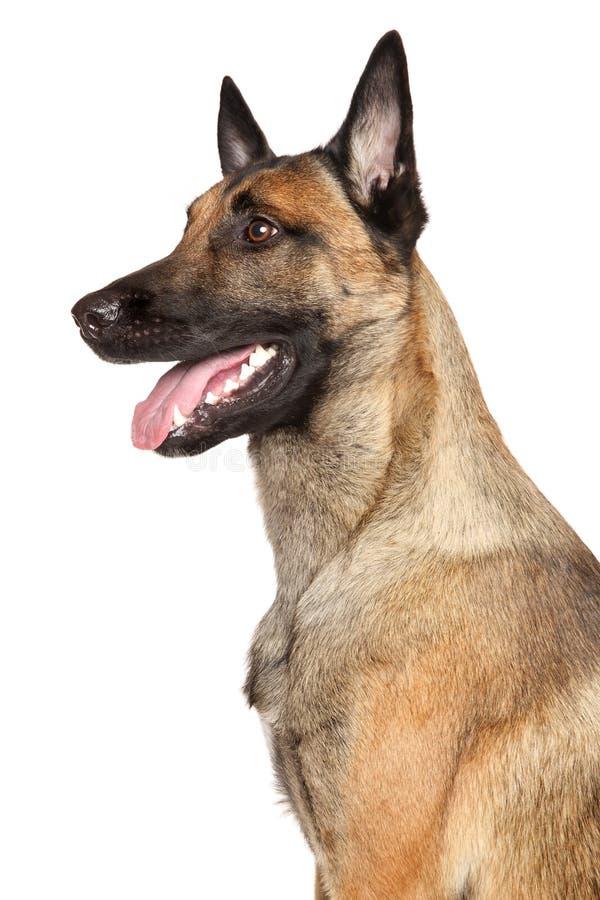 Cane di pastore belga Malinois fotografia stock libera da diritti