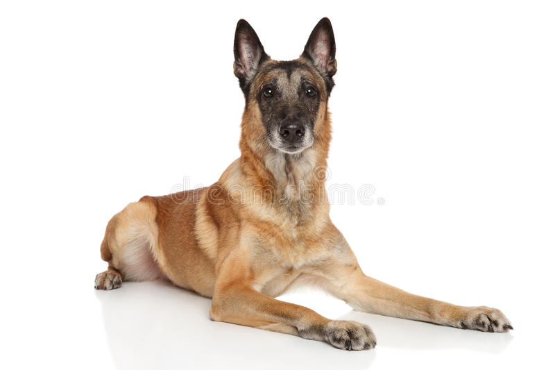 Cane di pastore belga Malinois fotografie stock
