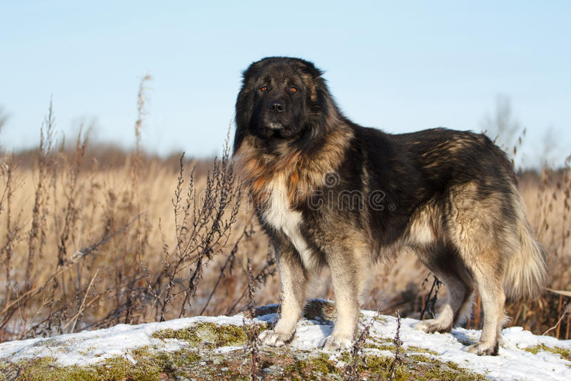 Cane di pastore caucasico immagine stock