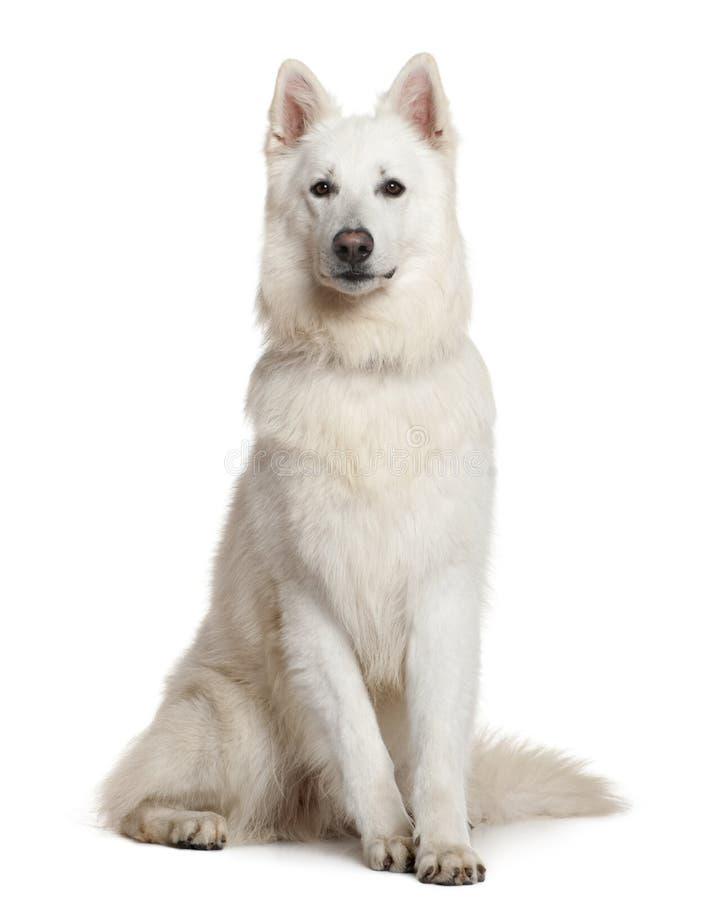 Cane di pastore svizzero, 3 anni, sedentesi fotografia stock