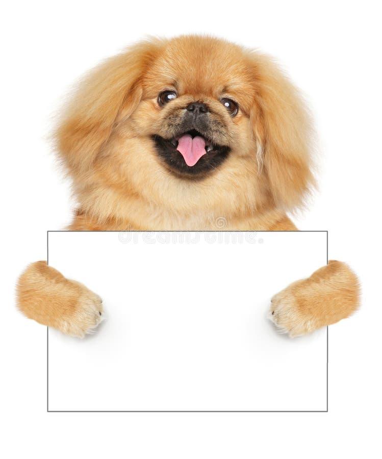 Cane di pechinese con la carta vuota su fondo bianco fotografia stock libera da diritti