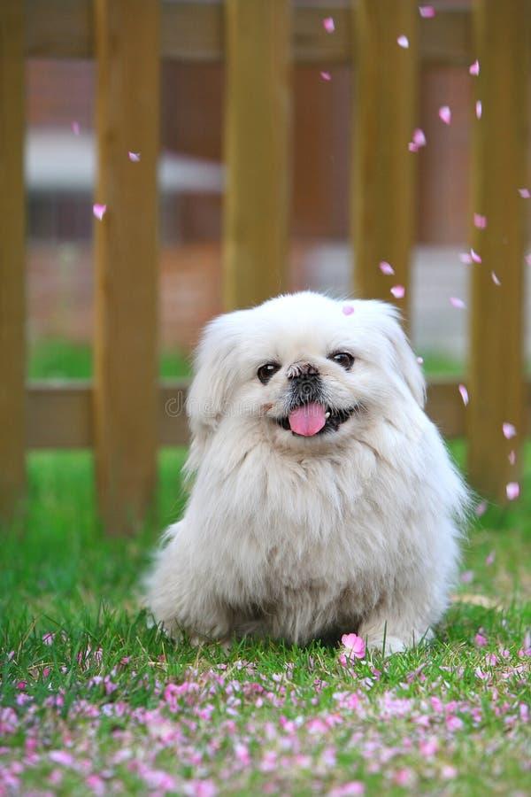 Cane di Pechino fotografie stock