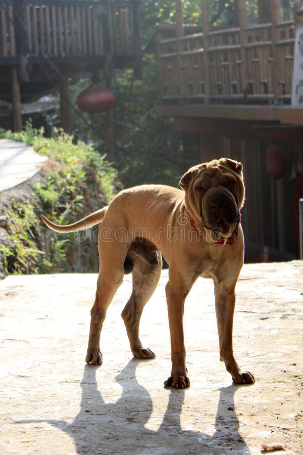 Cane di pei di Shar fotografia stock