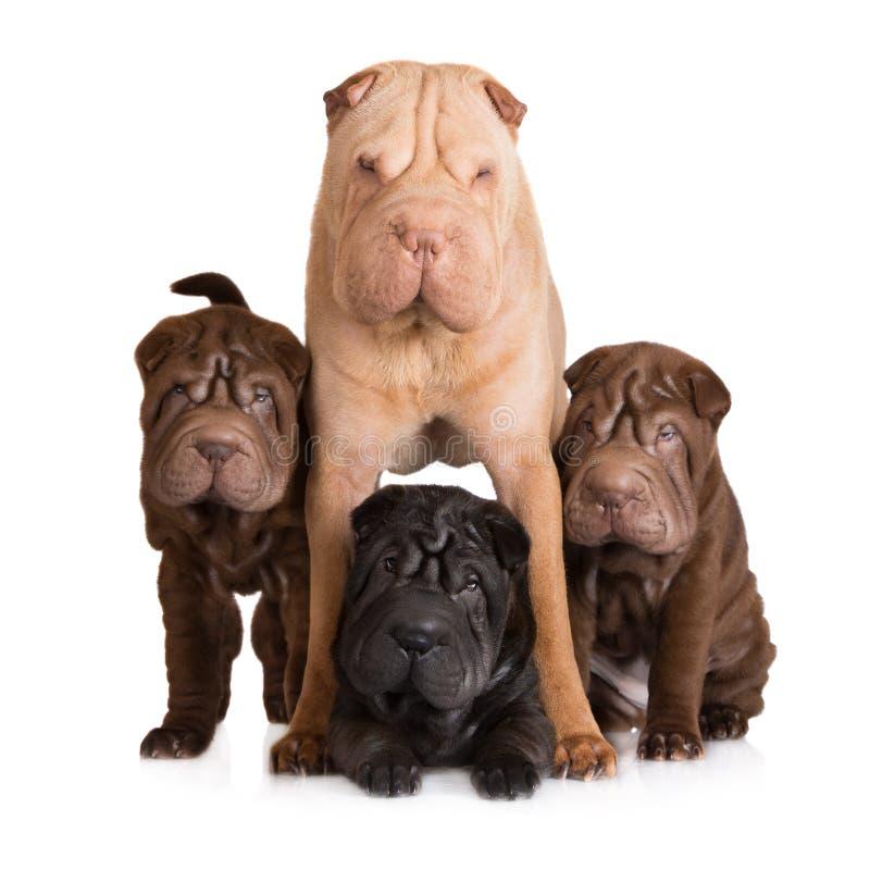 Cane di pei di Shar con i suoi cuccioli fotografia stock libera da diritti