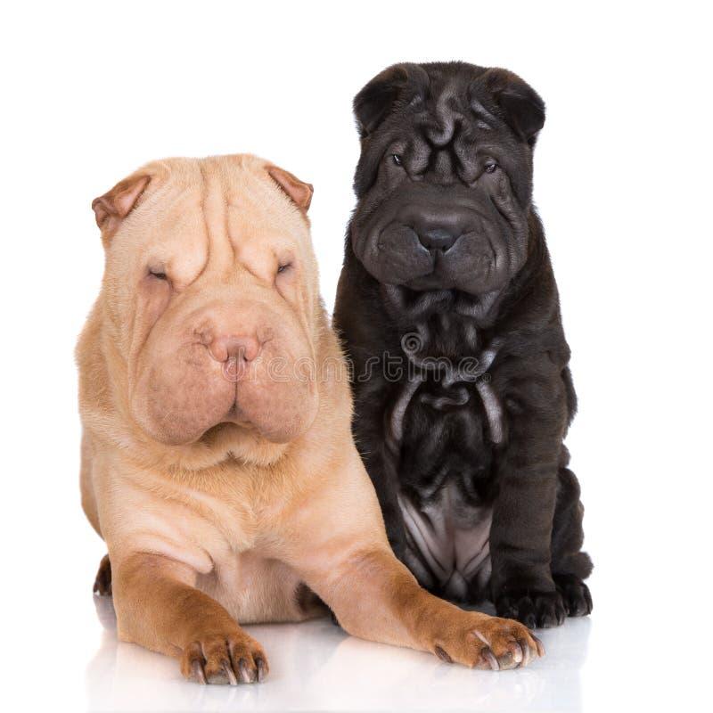 Cane di pei di Shar con i suoi cuccioli immagini stock