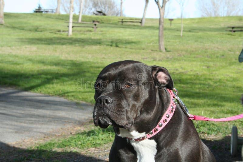 Cane di Pitbull fotografie stock libere da diritti