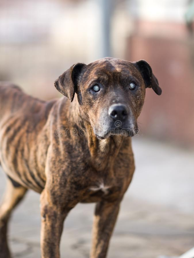Cane di Pitbull, condizione marrone scura di colore della tigre nell'iarda fotografie stock