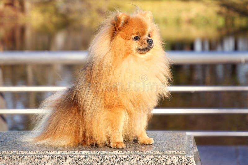 Cane di Pomeranian Cane pomeranian di autunno sveglio Cane in sosta Cane serio Cane serio immagini stock
