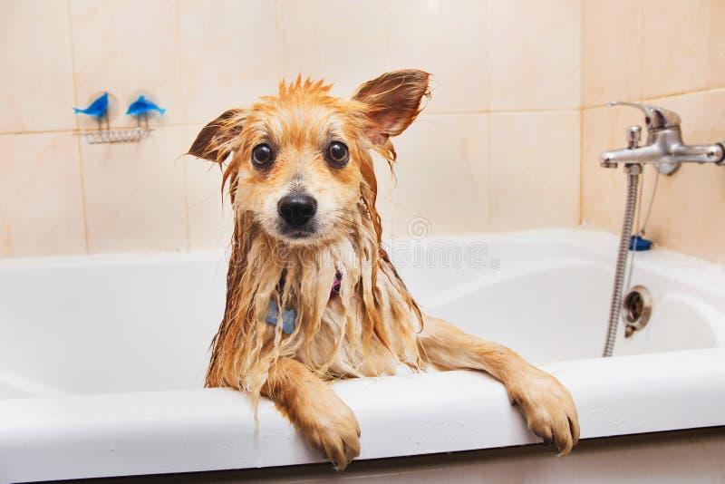 Cane di Pomeranian nel cane dello Spitz del bagno nel processo di lavaggio con la fine dello sciampo su immagine stock