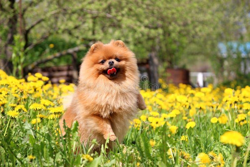 Cane di Pomeranian nel salto del dente di leone Cane sveglio e bello immagini stock libere da diritti